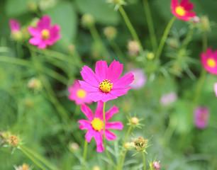 close up sulfur Cosmos Flower
