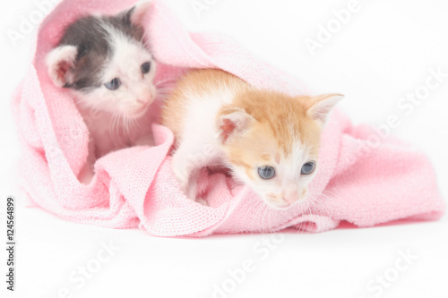 quot two cute baby kittens wrapped in pink blanketquot imagens e