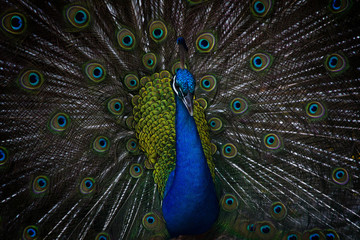 A majestic peacock