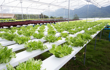 Hydroponics method of growing plants using mineral nutrient solutions in water,.  lattuce salad plant growing in greenhouse.