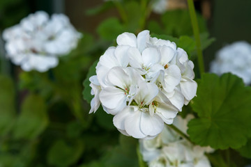 Closeup photo of Geranium flowers with white petals blooming during summer in Austria, Europe