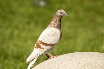 Beautiful pigeon in park, standing on round stone.