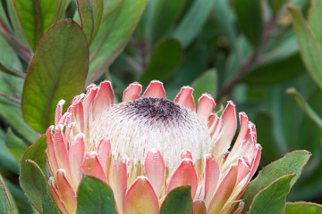 A Protea flower, one of the national flowers of South Africa,both the botanical name and the English common name of a genus of South African flowering plants, sometimes also called sugarbushes
