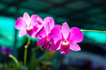 Purple pink orchid in a Garden with blur background