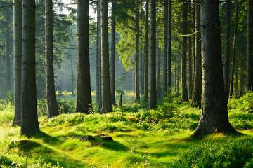 Naturalny świerkowy las w ciepłym świetle porannego słońca