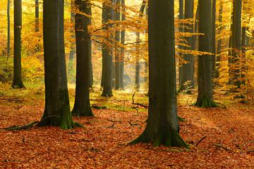 Farbenprächtiger sonniger Wald im Herbst, alte Buchen in Herbstfärbung