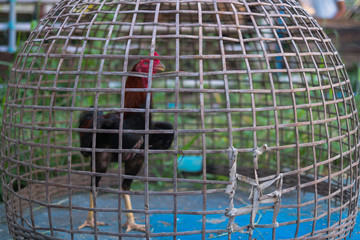 fighting cock in cage