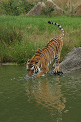 Acrylic Prints Tiger Siberische tijger gaat het water in