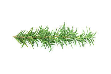 fresh green Rosemary on a white background