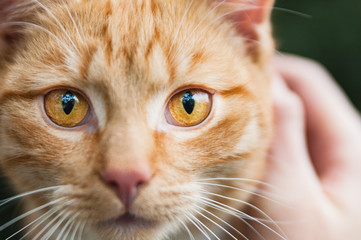 Ginger cat eyes portrait detail animal looking directly to camera face to face closeup
