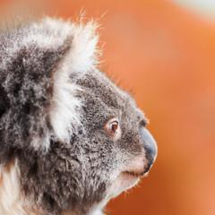 Australian koala outdoors in Tasmania, Australia