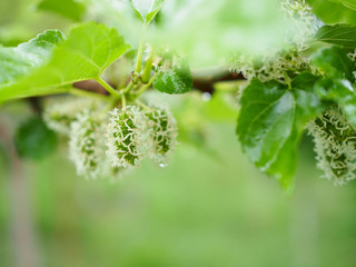mulberries on the branch