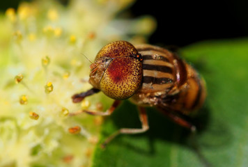 Eristalinus Taeniops Diptera Syrphidae hover fly at work