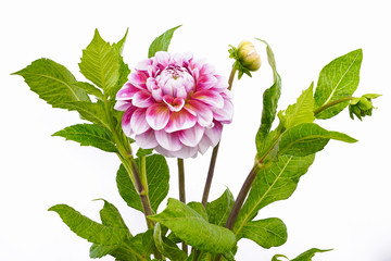 Dahlia of pink and white colors with buds on white background