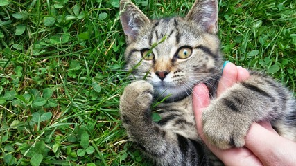 Funny face kitten in grass with person hand on chest