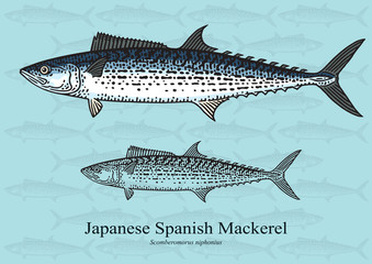 Japanese Spanish Mackerel. Vector illustration for artwork in small sizes. Suitable for graphic and packaging design, educational examples, web, etc.