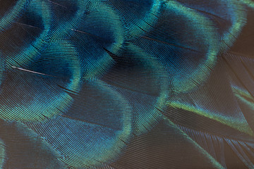 Photo sur Toile Les Textures Beautiful peacock feathers, Green Peacock Bird's Feathers in the close up details