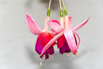 Red fuchsia flowers