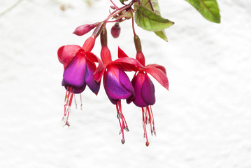Red fuchsia flowers