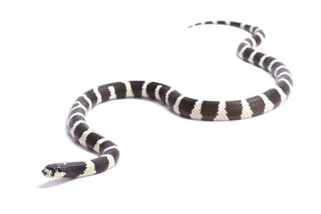 California Kingsnake, Lampropeltis getula californiae, United States