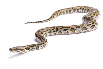 Burmese python,Python bivittatus,