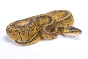 Ball python,Python regius,