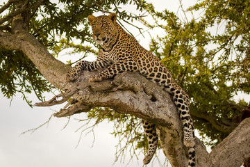 Magnificent female leopard lying on branch in tree in Kenya's Masai Mara National Park