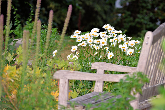 Inviting grey wooden bench in the garden with shasta daisies in the background
