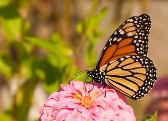 Danaus plexippus, migrating Monach butterfly feeding on a flower