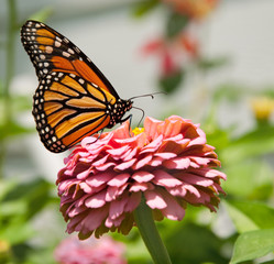 Beautiful Monarch butterfly in summer garden