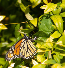 Colorful Monarch Butterfly laying eggs