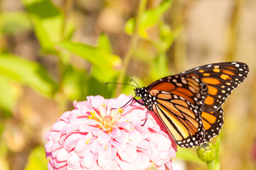 Migrating Monarch butterfly feeding on a Zinnia replenishing his energy supply