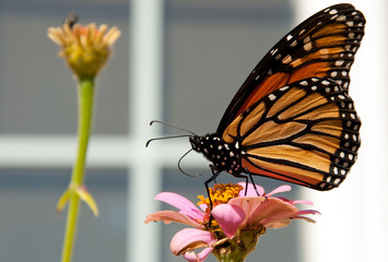 Migrating Monarch Butterfly has stopped to feed on an orange Zinnia to restore his energy, against light siding of a house