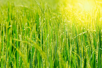 Green rice in the field rice in the Morning
