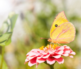 Beautiful Southern Dogface butterfly, Colias cesonia, feeding on a pink Zinnia flower