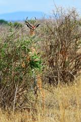 Wall Mural - Giraffidae antelope gerenuk