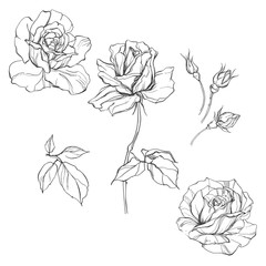 Roses. Set of  isolated floral elements for design on a white background
