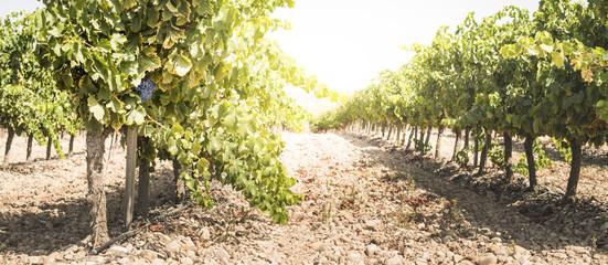 Vine grapes Fototapete