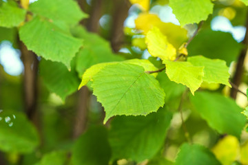 Green leaves of a hazel grove at the sunset. Natura greenl background
