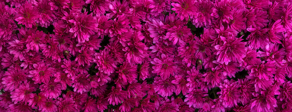 Magenta Blüten von Chrysanthemen