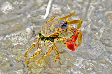 Red crab, Polynesia