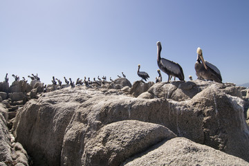 Pelicans on the rocks