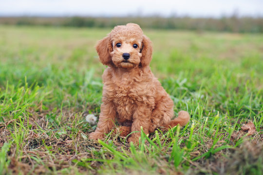 Cute red Toy Poodle puppy sitting outdoors on a green grass