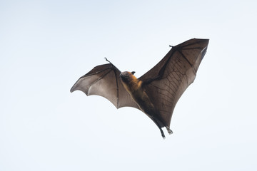 Flying bat , Flying Lyle's flying fox (Pteropus lylei)