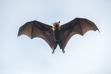 Flying bat , Flying Lyle's flying fox (Pteropus lylei)