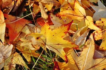 Ground covered with colorful red, orange and yellow leaves of maple trees during foliage season on the East Coast