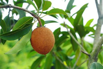 Sapodilla fruit on the tree.