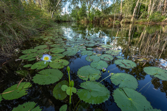 Lilly pads in flower in billabong in Kimberley river
