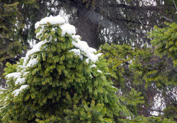 Vector snowcovered fir tree branches
