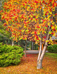 Elm tree in Fall in front yard with colorful leaves and fruit.